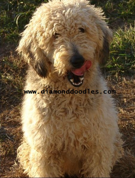 ... Golden Retriever and Small Standard Poodle mix. She weighs