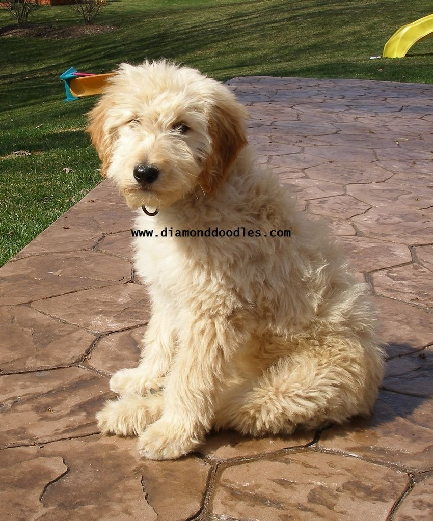 Wheaten Terrier Poodle Mix