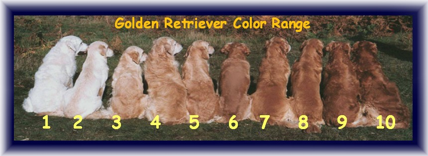 Red English Golden Retriever Puppies