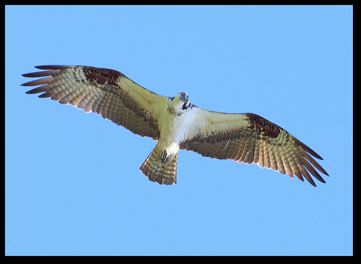 Juvenile Red Tailed Hawk In Flight