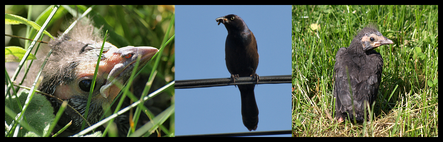 common grackle female. pictures female common
