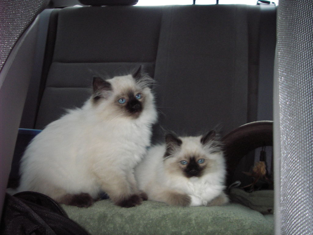Lake Norman Ragdolls