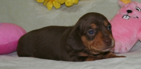 AKC Dachshunds puppies for sale in Southern / Northern