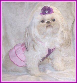Love's Legacy Shih Tzu of Arizona, puppies for sale