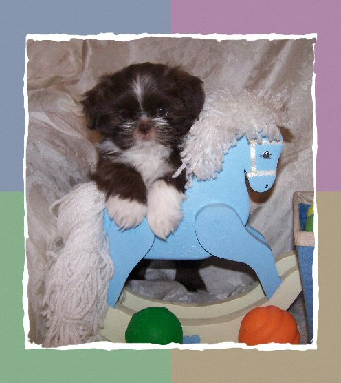 Tiny Shih Tzu Puppies For Sale Arizona Akc Shih Tzu Breeder