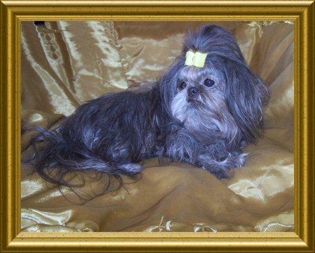 Tiny Shih Tzu Puppies for Sale, Arizona AKC Shih Tzu Breeder