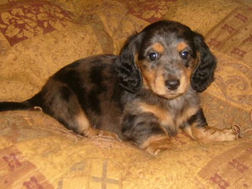 Pastpuppies | AKC Miniature Dachshunds in California ...  Pastpuppies | A...