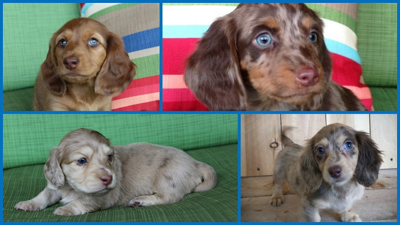 Akc Miniature Dachshunds In California Dapples Piebalds Blues