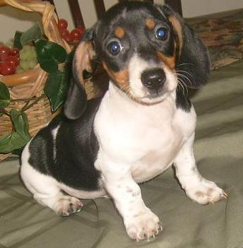 Black and tan piebald dachshund puppy.