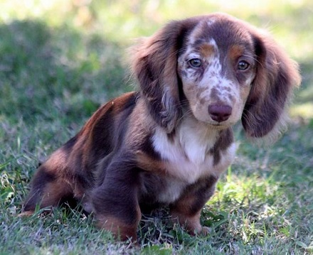 AKC mini dachshund black and cream, chocolate and cream dapple puppies ...