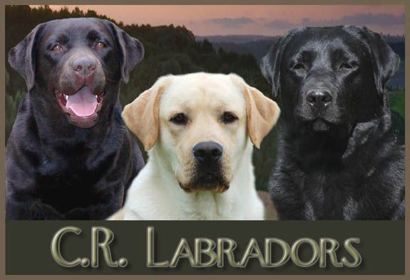 Labrador Puppies For Sale In Missouri