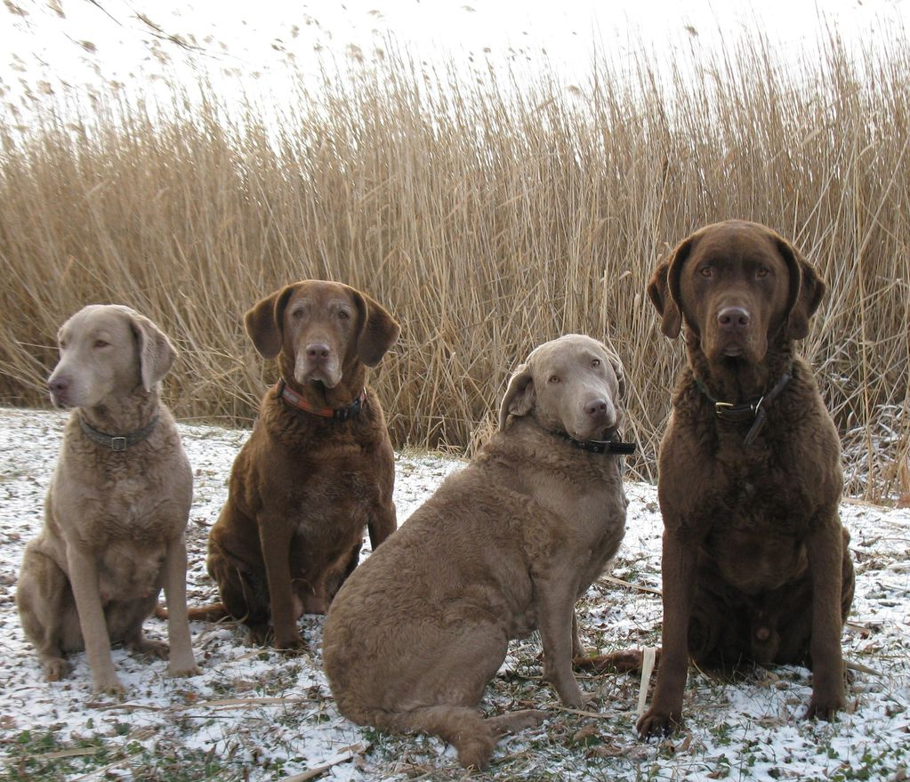 Four beautiful Chesapeake Bay Retriever dogs hunting
