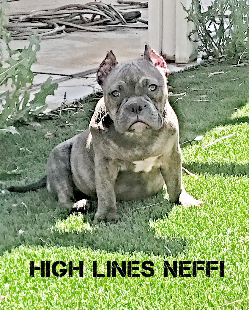High Line Kennels~ 100% Pure Bred Blue American Bully Pit Bulls