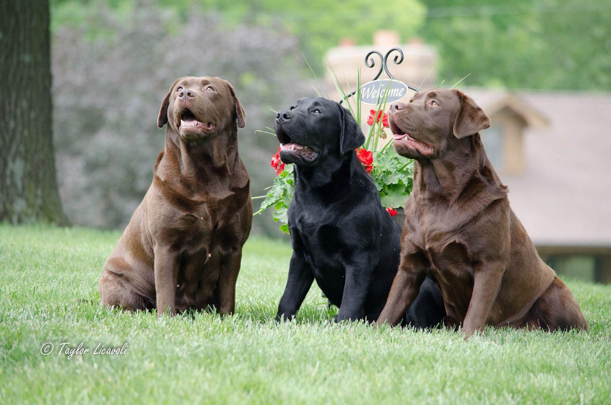 Homepage Of C R Labradors Llc